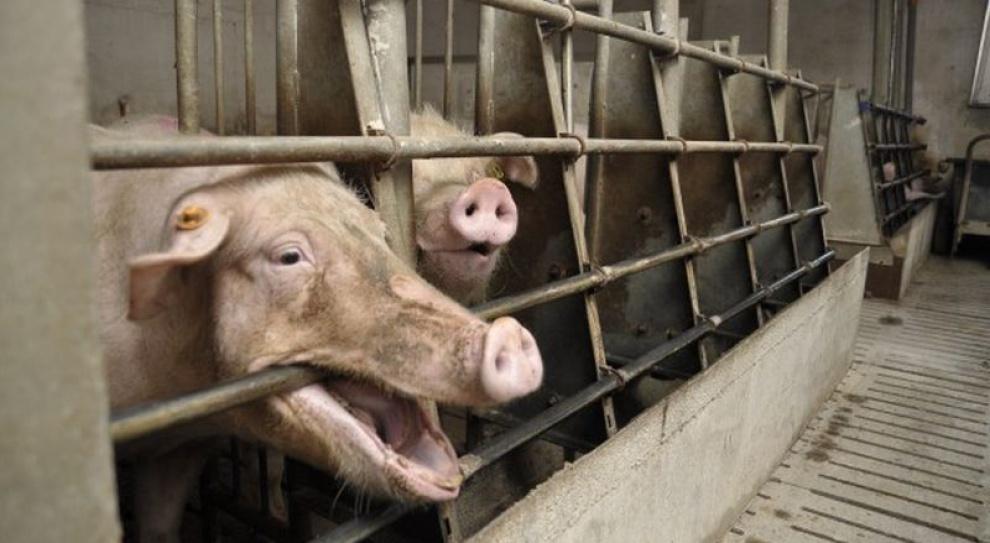 Pracował ze świniami i ogłuchł. Dostanie odszkodowanie