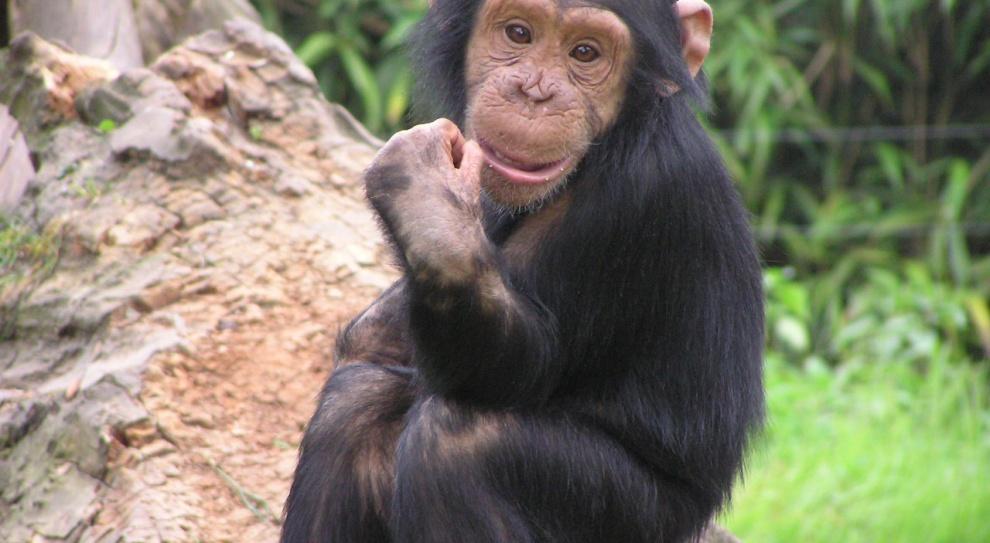 Szympans Zac pracował w barze nocnym, a Charles w cyrku. Jak skończyli?