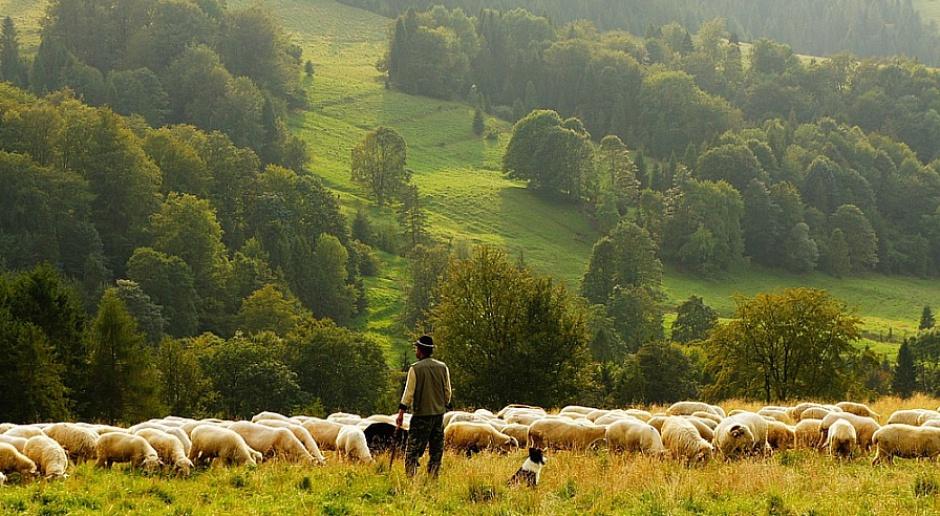 Pasterz owiec - modny zawód wśród młodych w Hiszpanii