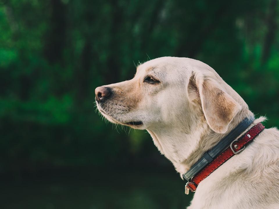 Labrador retriever to jedna z częściej wykorzystywanych ras psów w terapii (fot.pixabay.com)