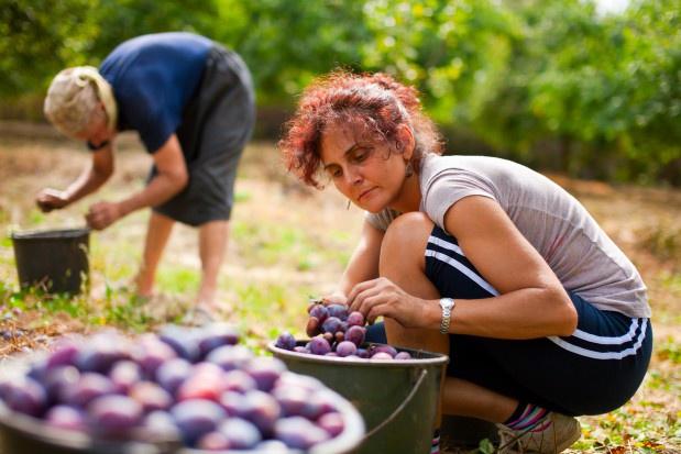Okres wakacyjny to więcej ofert pracy w rolnictwie. W wielu krajach Europy zbiory przypadają na okres od sierpnia do października. (Fot. Shutterstock)