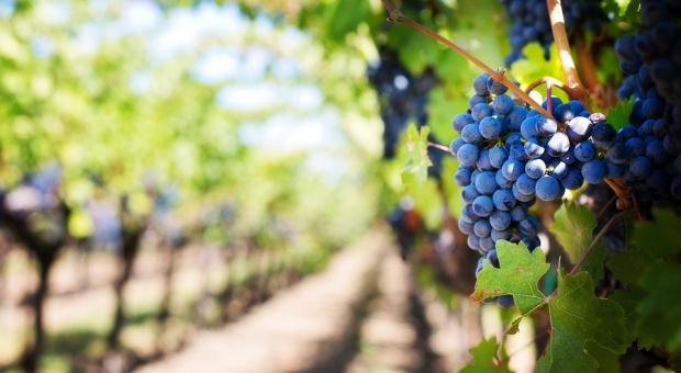 Hiszpania: zbiory winogron przyciągają wielu zagranicznych turystów