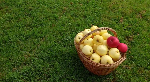 Związek Sadowników: ceny skupu jabłek nadal niskie