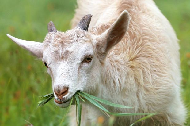 Potrzebowali ogrodnika więc zatrudnili... kozę