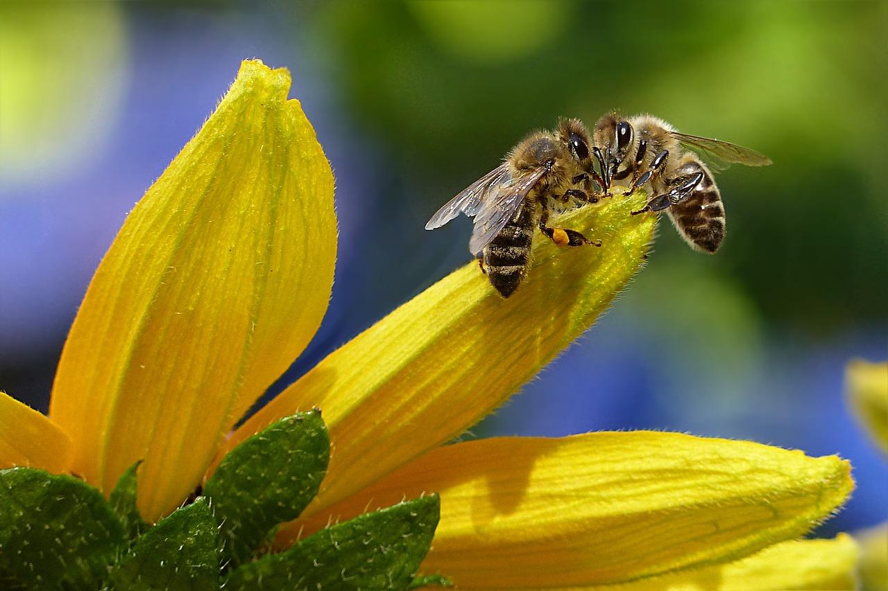 Praca wszystkich pszczół na świecie jest warta 150 mld euro rocznie. (fot. pixabay)