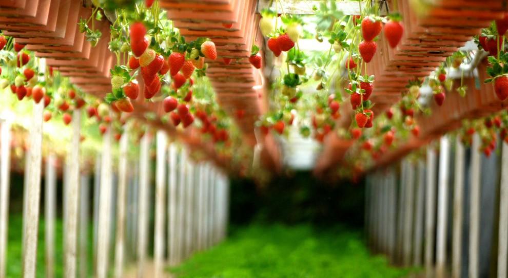 Francja, praca: Pracownicy z Polski ratują plantacje truskawek. Bez nich by splajtowały