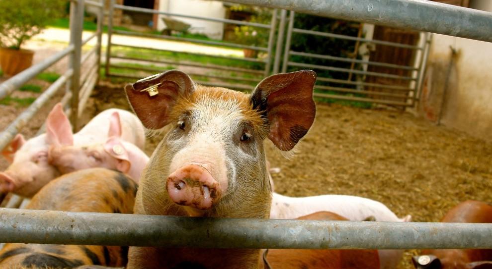 Bioasekuracja: Nowe przepisy dla rolników w związku z ASF