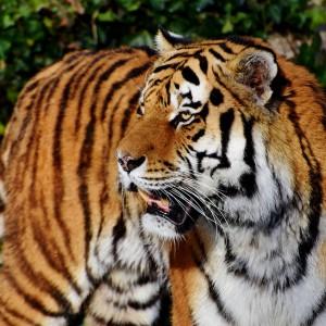 Tygrys zagryzł pracownika zoo. Jego przełożony stanął przed sądem