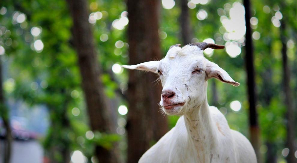 Owce i kozy rozwiążą problem z brakiem pracowników