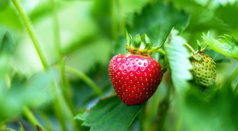 Praca przy zbiorze owoców: Zbiory zagrożone. Brakuje pracowników