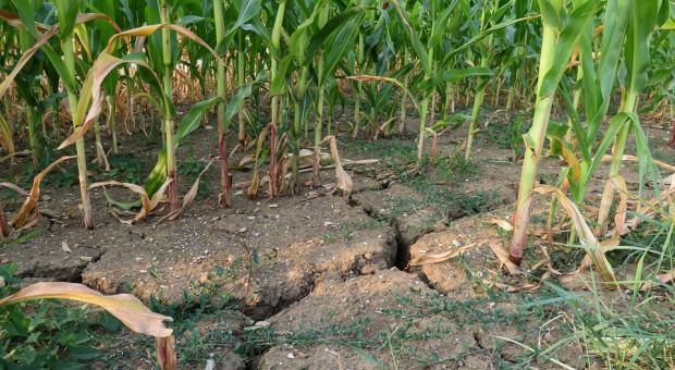 Prawie 800 mln zł dla poszkodowanych rolników. Rząd przyjął program pomocy
