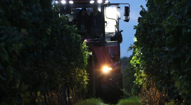 Niemcy. Jeszcze nigdy nie zbierano winogron o tej porze