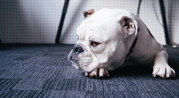 Pozytywny wpływ psów w biurach dostrzega coraz więcej firm