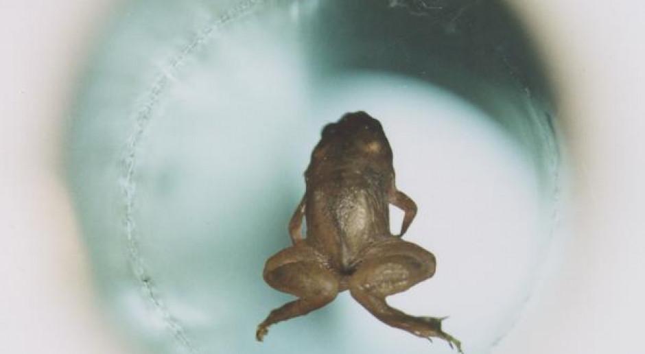 Badania nad lewitacją magnetyczną latającej żaby przyniosła w 2000 roku Andriejowi Gejmowi z Uniwersytetu w Nijmegen oraz Michaelowi Berry'emu z Uniwersytetu Bristolskiego nagrodę Ig Nobla z fizyki. (fot. wikimedia.org/CC)