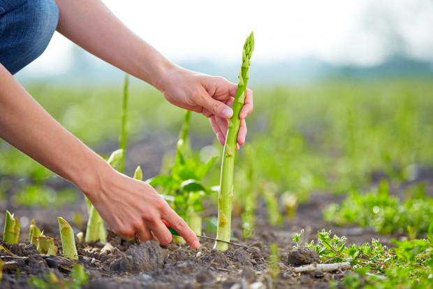 Mimo rosnących stawek pracowników do zbioru szparagów brak