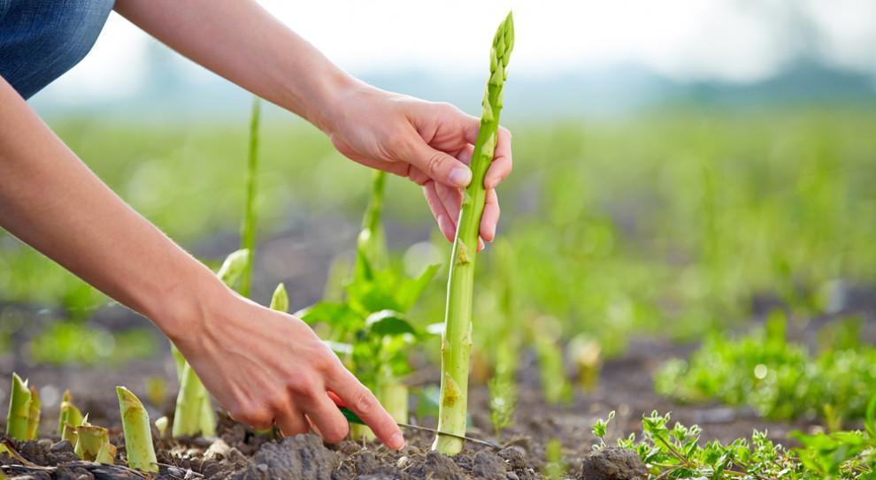 Niemcy: Mimo rosnących stawek pracowników do zbioru szparagów brak