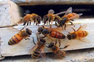 Zakład Spolana Neratovice, należący do Unipetrolu z Grupy Orlen, powiększył pszczelą pasiekę