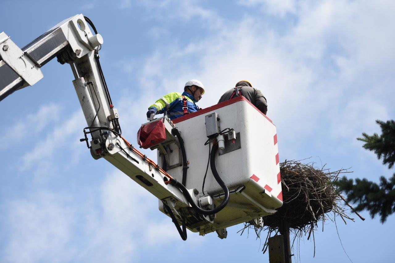 Wysokie i ciężkie gniazdo zagraża ptakom i sieci energetycznej, dlatego pracownicy spółki Tauron Dystrybucja regularnie oczyszczają domostwa bocianów i wynoszą je na specjalne platformy. (Fot. mat. pras.)