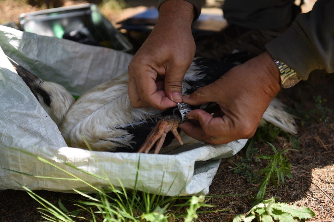 Mniej więcej od połowy czerwca ornitolodzy w całym kraju obrączkują potomstwo bociana białego.  (Fot. mat. pras.)