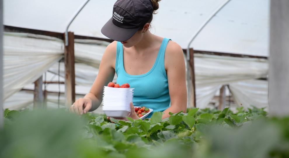 Hiszpania: Przedłużono prawo do pracy w rolnictwie dla cudzoziemców