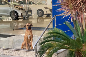 """Bezpański pies odwiedzał salon samochodowy. Firma postanowiła go """"zatrudnić"""""""