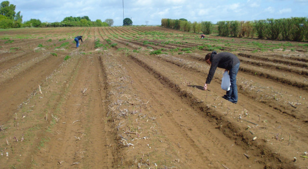 Setki Polaków zmuszonych do kwarantanny na niemieckiej farmie szparagów
