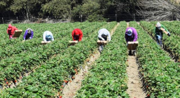 Holandia: Mniej pracowników sezonowych z Polski ze względu na dobre wyniki polskiej gospodarki