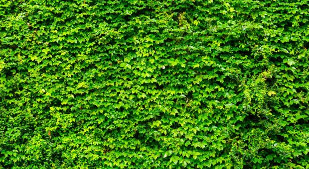 Firma buduje zielone ogrodzenie, tak oczyści powietrze