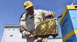 Pszczoły mieszkające na dachu urzędu zebrały ponad 200 litrów miodu