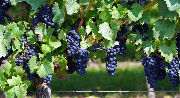 Producenci wina bez skrupułów. Wyzyskiwali pracowników na ogromną skalę