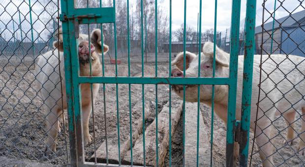 Przez brak rzeźników hodowcy zaczęli zabijać i wyrzucać zdrowe świnie