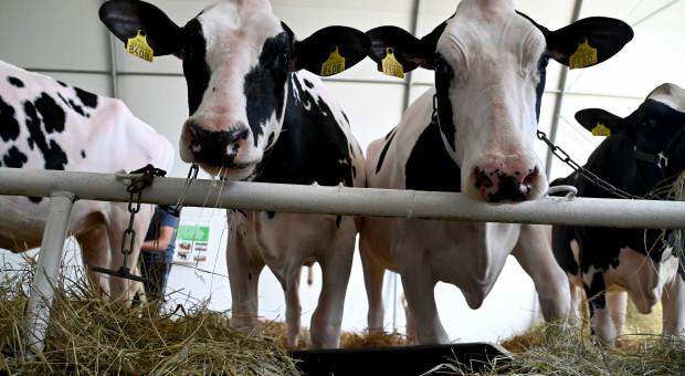 Brak kierowców uderzył w kolejny sektor. Rolnicy muszą wylewać mleko