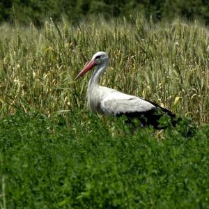 PGE angażuje się w ochronę przyrody. Ratują symbol Polski